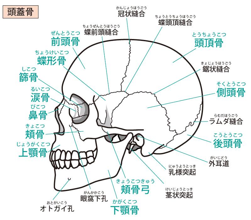 頭蓋骨は動く